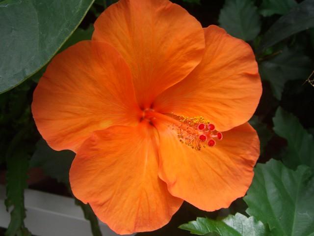 Orange Hibiscus Orange Hibiscus Sf Conservatory