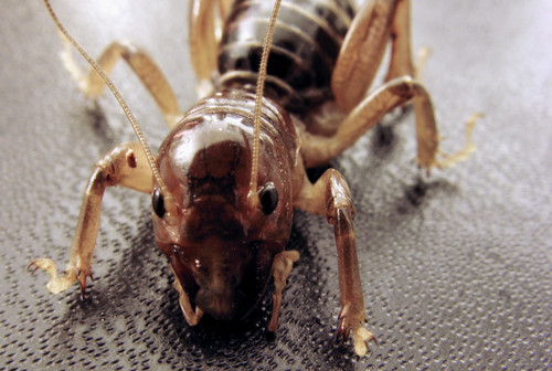 Jerusalem Cricket | by colinbrown