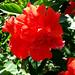 Saipan, A'be's garden - Hibiscus