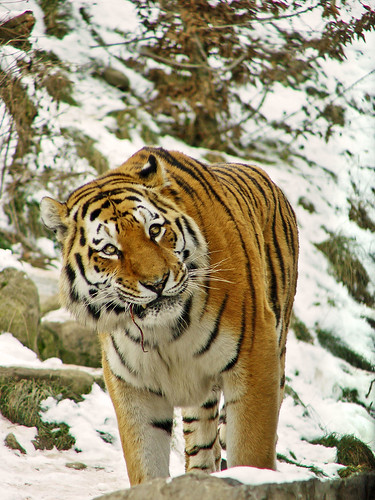 Tiger in the snow | by Tambako the Jaguar