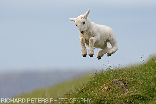 Spring Lamb - 2007 BBC Countryfile competition winner. | by Richard Peters