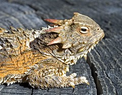Coast Horny Toady | by The Horned Jack Lizard