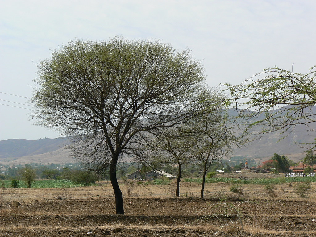 Babbulaha sanskrit Fabaceae Pea, Eller Legume-4233
