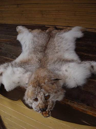 Rare Lynx Pelt