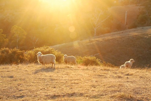 sheep at sunset | by Janet Leadbeater