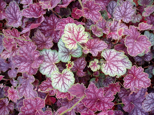 Stray Heuchera | by RHR Horticulture