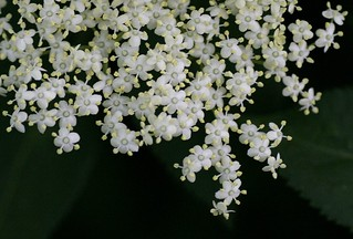 elderflower | by lizjones112