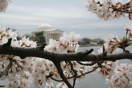 cherry blossoms at tidal basin | by rachaelvoorhees