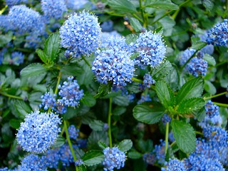 Ceanothus at Stone House Cottage Gardens, Nr. Kidderminster | by Eekers!