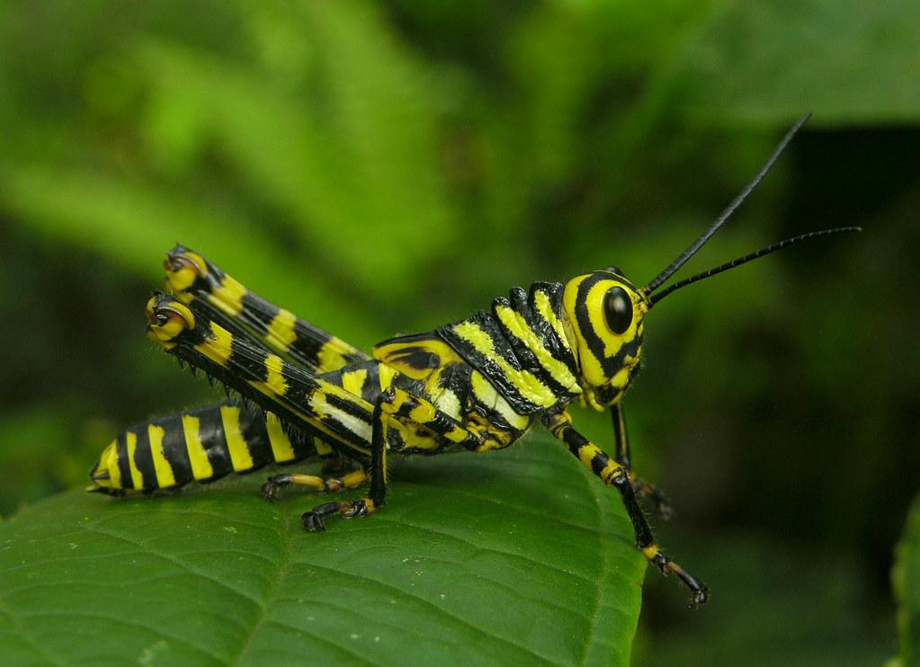 Yellow Zebra Hopper Tropidacris Cf Cristata Panama Flickr