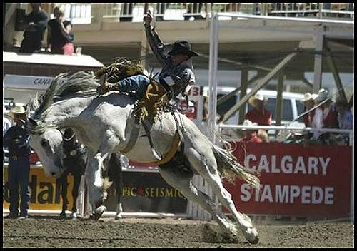 Calgary Stampede The Stupidest Sport On Earth News Item