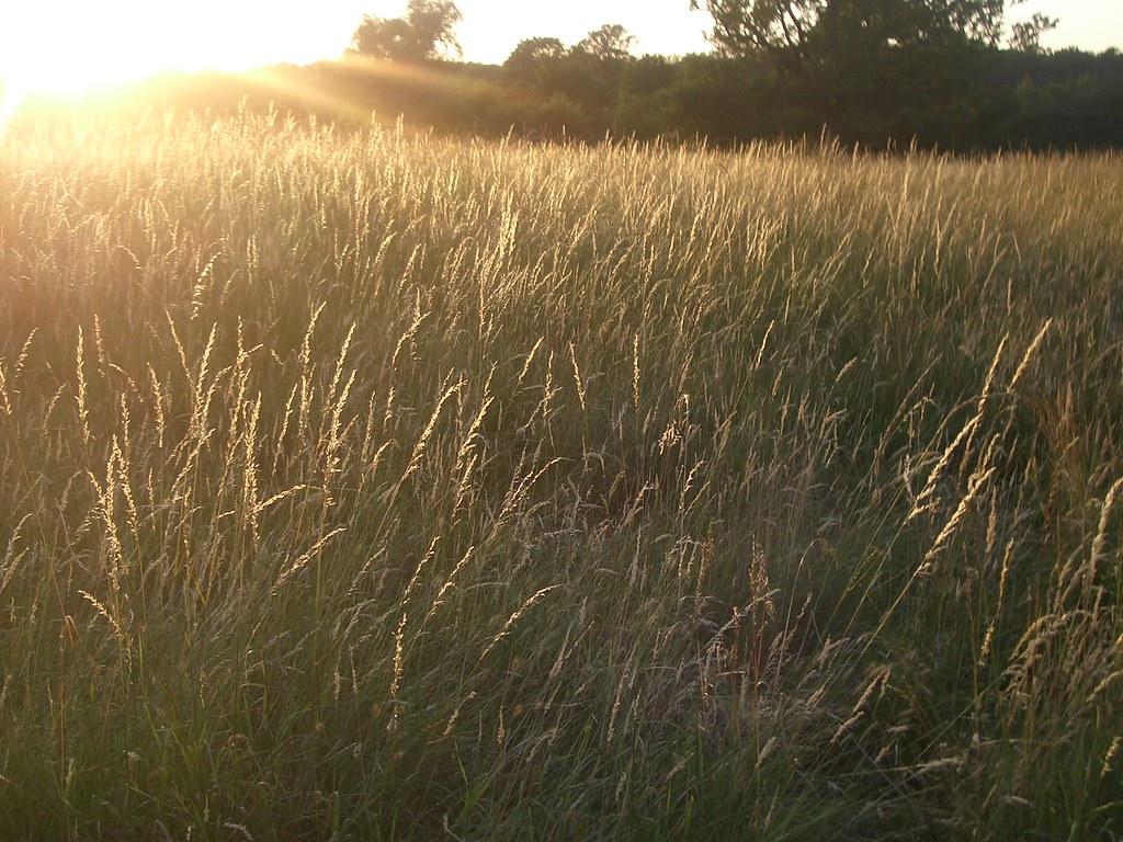 Sunset grass field grass field during sunset in epsom sur iain sunset grass field by iainbuchanan sunset grass field by iainbuchanan voltagebd Images