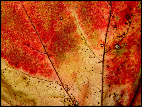 Aging Leaf | by Clearly Ambiguous