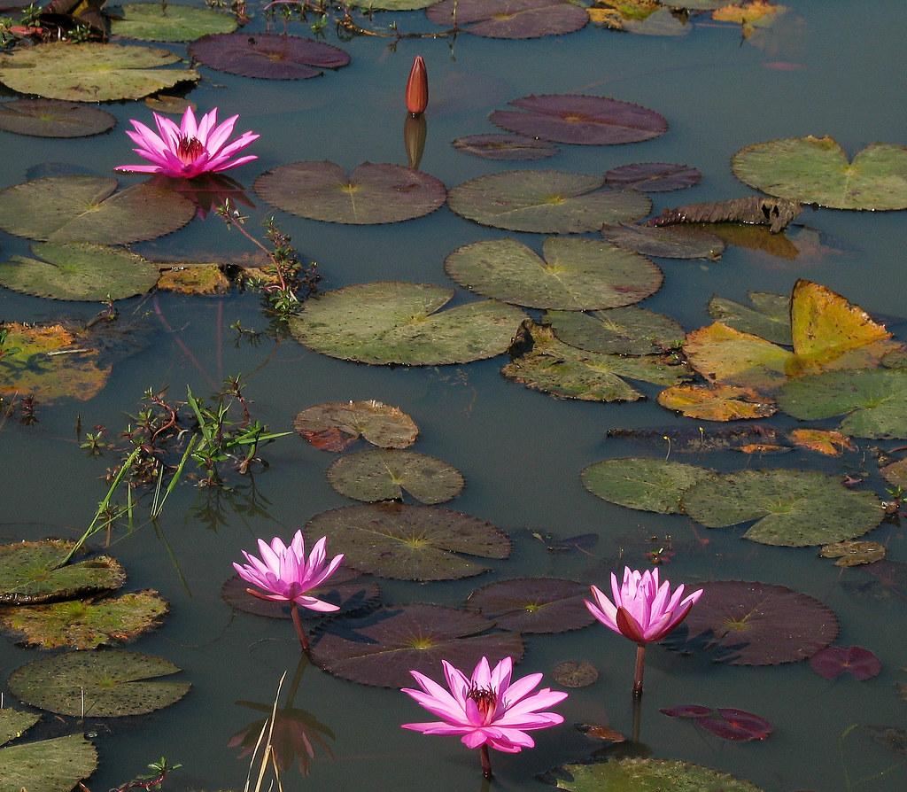 Lotus flower pond hn flickr lotus flower pond by hn izmirmasajfo