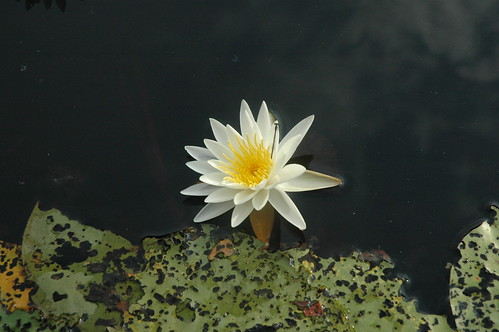 Water Lily | by Lalitree