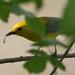 Prothonatary Warbler (Protonotaria citrea)