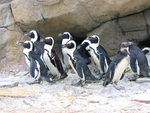 Penguins at Seneca Park Zoo | by timmothy