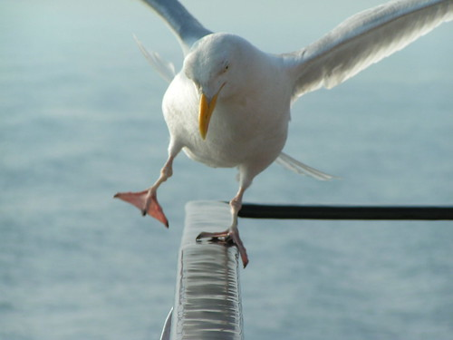 The mythical seagull out of balance | by fisserman