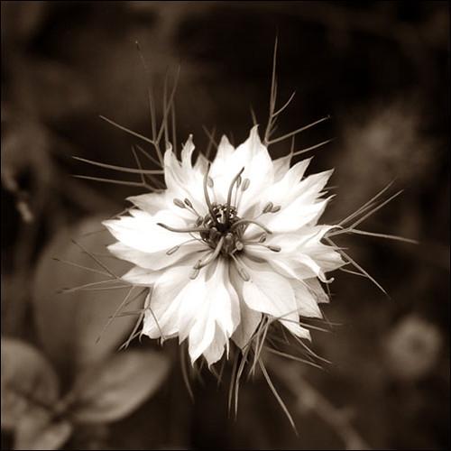 Spiky white flower piedmont california may 2005 pei ketron spiky white flower by penelopes loom mightylinksfo