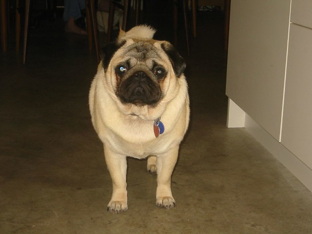 The Worlds Fattest Pug: Double Wide Pug