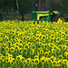 Sunflowers «adoring» King Tractor...!