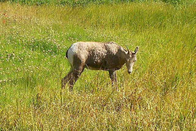 Evil sheep - photo#14