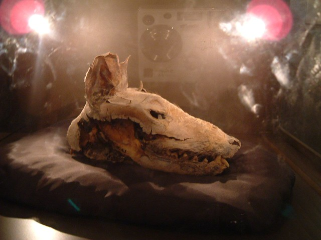 mummified thylacine head