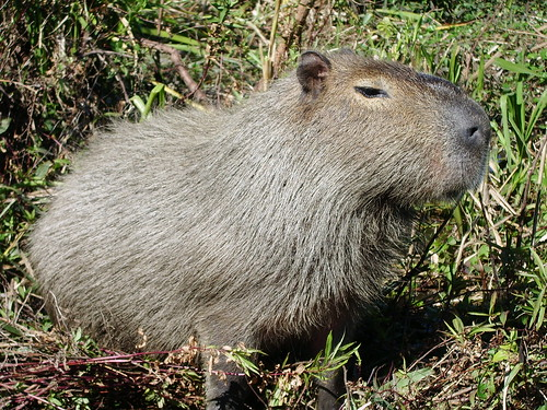 R Guinea Pigs Rodents Capybara - worl...