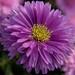 Brilliant Purple