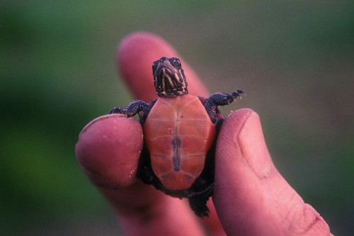 midland painted turtle hatchling | by alumroot