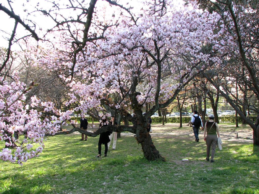 Gosho Sakura