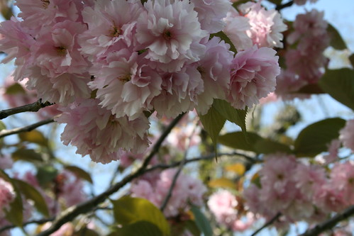 Greenwich Park Blossom | by krh1984