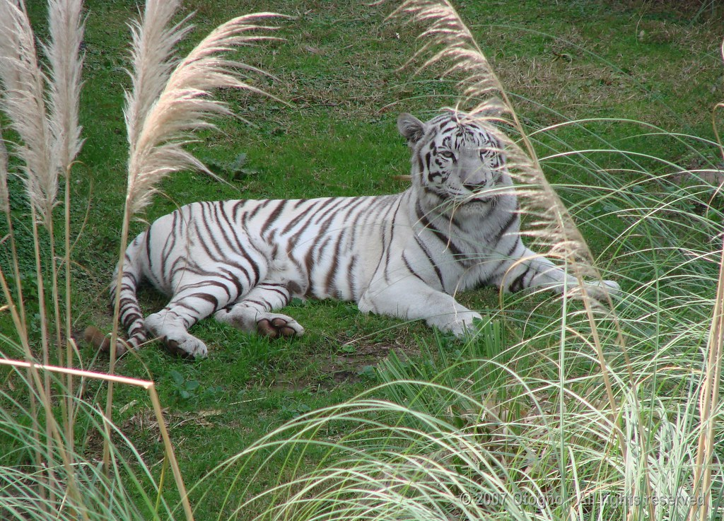 Images of white bengal tigers
