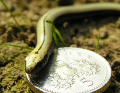 Young Slow Worm | by Dave ®