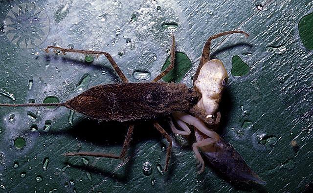 Water Scorpion Eating Tadpoles, Burma 1997   SI Neg. 97 ...