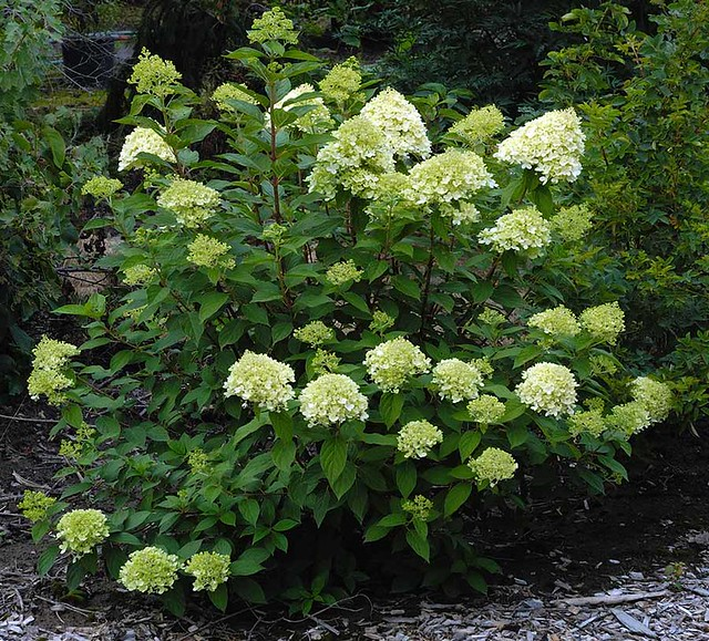 hydrangea paniculata 39 limelight 39 rob sharon illingworth flickr. Black Bedroom Furniture Sets. Home Design Ideas