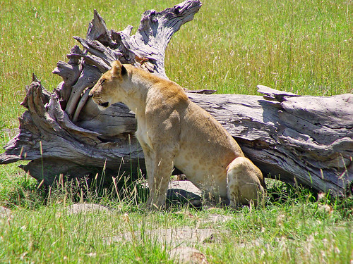 Lioness and dead tree | by Tambako the Jaguar