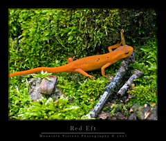 Red Eft (Spotted Newt) | by Mountain Visions