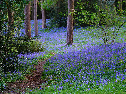 Bluebell Wood | by M.R.7