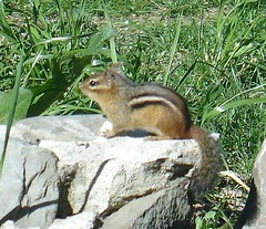 Chipmunk - at my bird feeder | by A Storybook Life