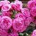 rosebunches