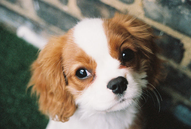 my cavalier king charles spaniel chloe 4 months old take flickr. Black Bedroom Furniture Sets. Home Design Ideas