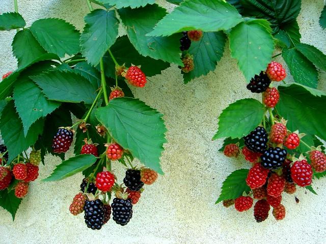 Blackberry blackberry in the garden best in large size - More da giardino ...