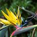 Crane Flower - Kirstenbosch