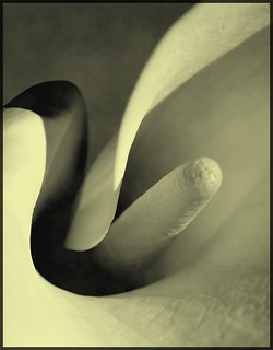 The heart of a Calla | by Kirsten M Lentoft