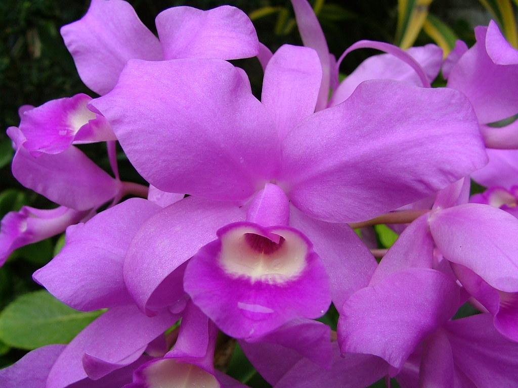 Guaria Morada, Purple Orchid, National Flower of Costa ... |Guaria Morada