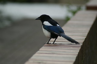 One for sorrow... | by tim ellis