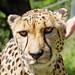 Rangu the cheetah