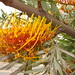 Brown and orange flowers on Grevillea robusta