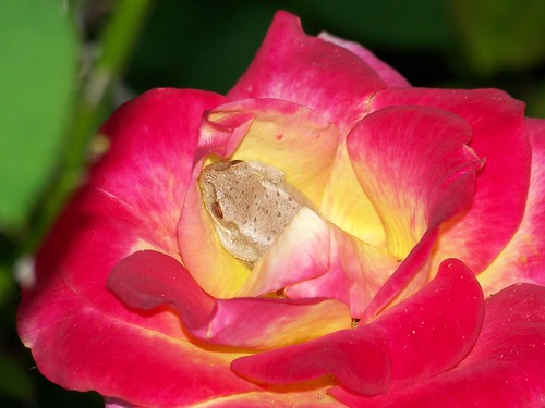 Rose Surprise | by aneye4wonder (Ineta McParland)